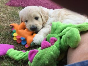 Read more about the article The Importance of Early Experiences for Puppies